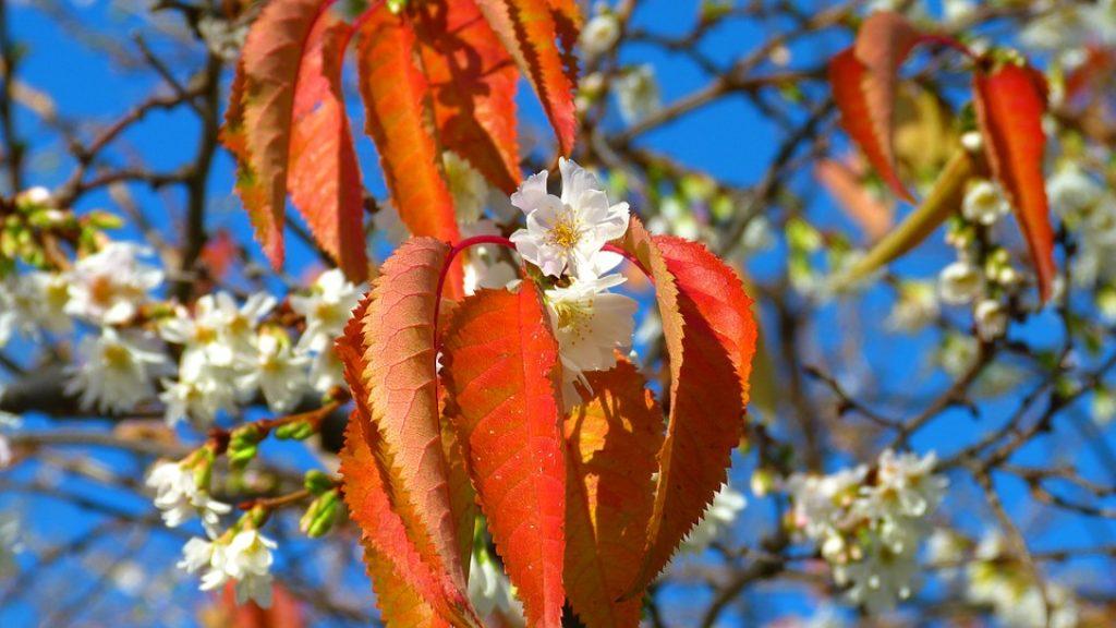 cherry-blossoms-222370_960_720